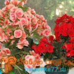 Бегония — уход в домашних условиях, фото цветов, размножение, пересадка